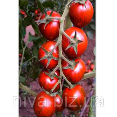 Тайгер F1 семена томата идет.  селекции Yuksel 1 000 семян