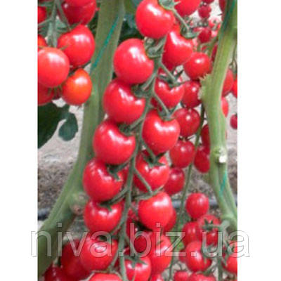 Марголь F1 семена томата черри Yuksel 1 000 семян