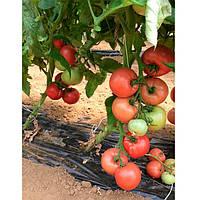 Розалба F1 (TL 12774 F1) семена томата индет. розового Esasem 1 000 семян