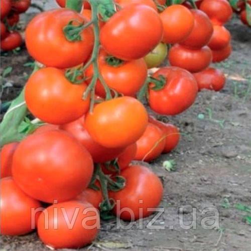 Дофу F1 (Doufu F1) семена томата Rijk Zwaan 1 000 семян