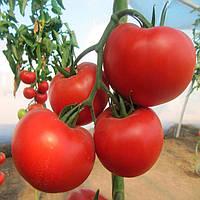Диаграмма F1 NUN 03559TOF семена томата индет. Nunhems 1 000 семян