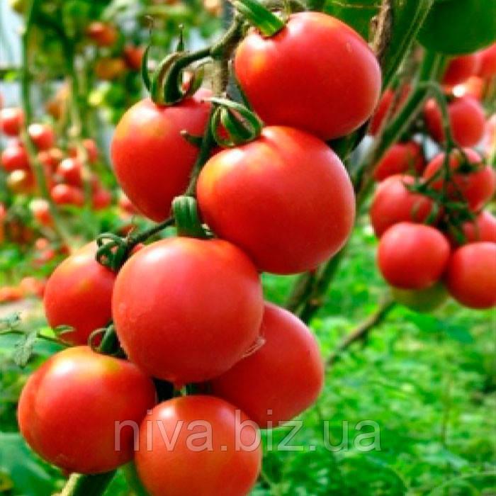 Джайро F1 семена томата индет. Agri Saaten 500 семян