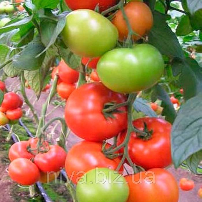 Матиас F1 (Matias F1) семена томата индет. DRS-Seminis 1 000 семян