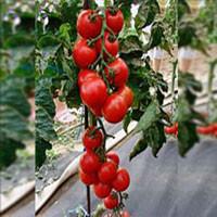 Тастиер F1 семена томата индет. коктейльного Moravoseed 500 семян