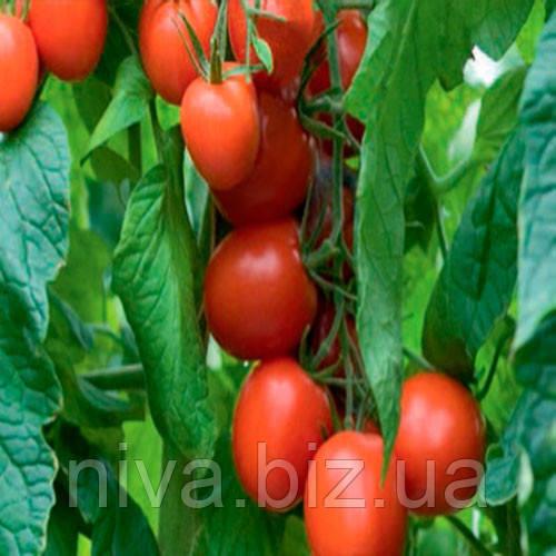 Толстой F1 (Tolstoi F1) семена томата индет. Bejo 5 г
