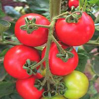 Торино F1 семена томата индет. Semo 1 000 семян