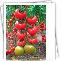 Эзги F1 семена томата индет Yuksel 1 000 семян