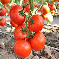 Чинто F1 (Cinto F1) семена томата индет. Rijk Zwaan 1 000 семян