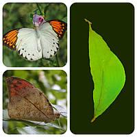 Куколка бабочки Hebomoia glaucippe