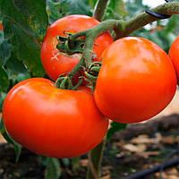 Дебют F1 (Debut F1) семена томата Seminis 1 000 семян