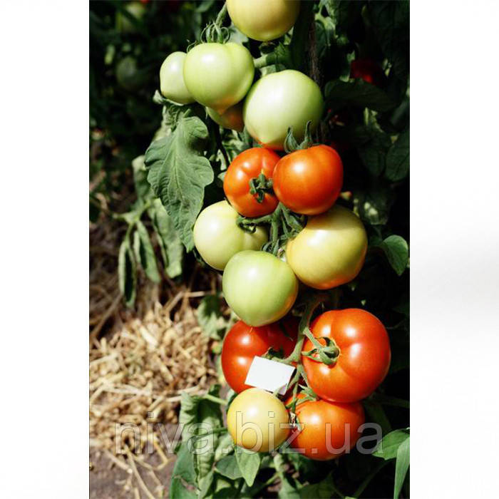 Примадонна F1 семена томата дет. Элитный Ряд 1 г