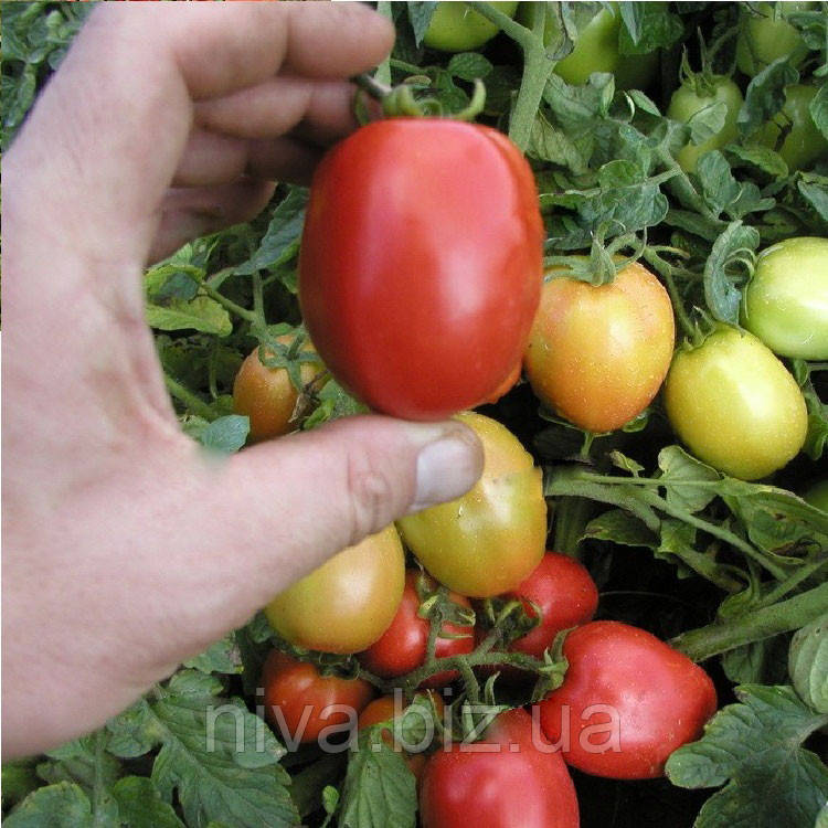 Орбит семена томата Semo 10 000 семян