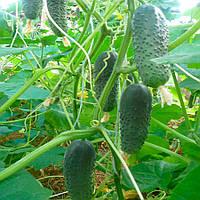 СМ 5341 F1 (SM 5341 F1) семена огурца партенокарпического Semo 1 000 семян