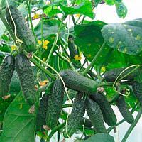 Афина F1 семена огурца партенокарпического Nunhems 1 000 семян