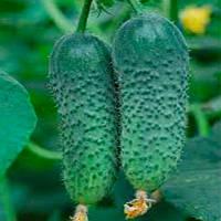 Гравина F1 Gravina F1 семена огурца корнишона партенокарпического Rijk Zwaan 1 000 сем