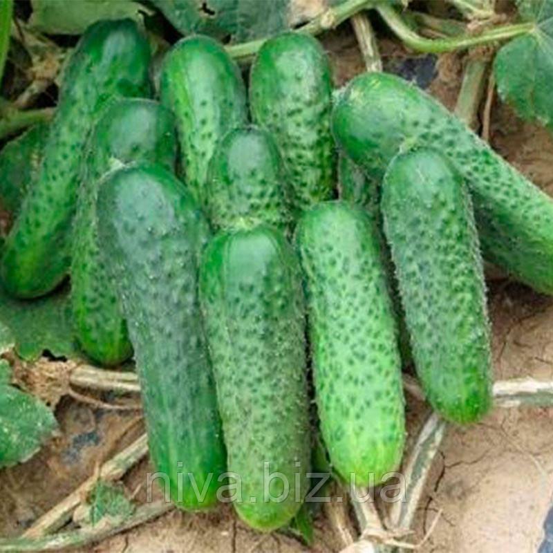 Джустина F1 семена огурца партенокарпического Nunhems 1 000 семян