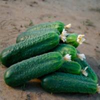 Циркон F1 семена огурца партенокарпического Nunhems 1 000 семян