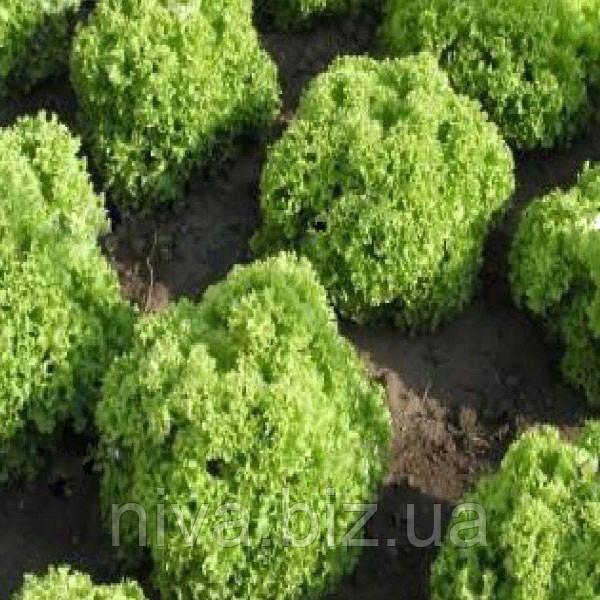 Золтан семена салата тип Батавия Semo 5 г