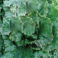 Кутз семена салата листового Moravoseed 1 000 г