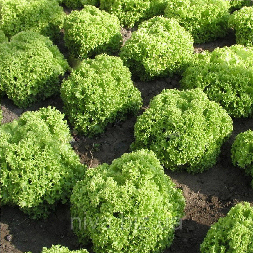 Златава семена салата кучерявого  Semo 1 000 семян