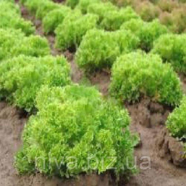 Рекорд семена салата тип Лолло Бионда Moravoseed 10 000 семян