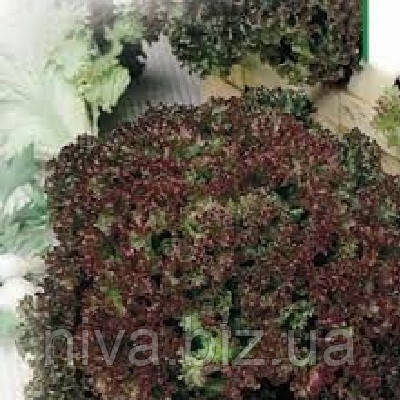 Лолло Росса семена салата Hortus 50 г