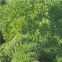 Рина (Rina) семена петрушки Rijk Zwaan 10 г