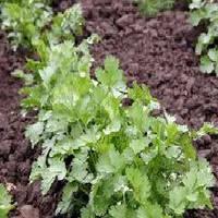Янтарь семена кориандра/кинзы Agri saaten 150 г