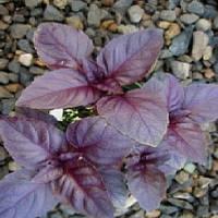 Бордо семена базилика красного Agri Saaten 50 г