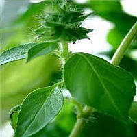 Лимонный семена базилика зеленого SAIS 50 г