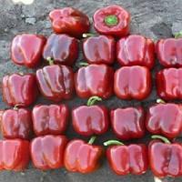 Карисма F1 семена перца сладкого Clause 1 000 семян