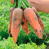 Танжерина F1 Т-825 семена моркови типа Шантане Takii Seeds 100 000 семян