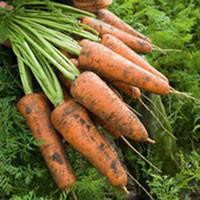 Кордоба F1 (Сordoba F1) 1,6-1,8 мм семена моркови Шантане Bejo 1 000 000 семян