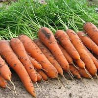 Карини (Carini) семена моркови Флакке Bejo 50 г