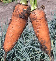 Ред Кор семена моркови Шантане United Genetics 500 г