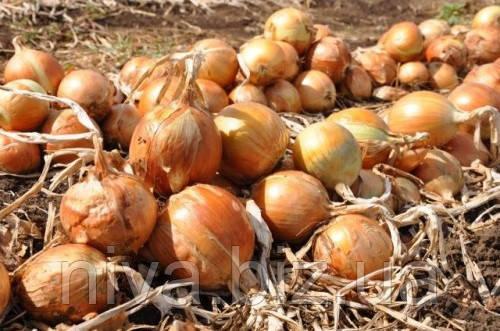 Валентино F1 насіння цибулі ріпчастої Hazera 250 000 насінин
