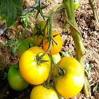 Гуалдино F1 семена томата Enza Zaden 100 семян