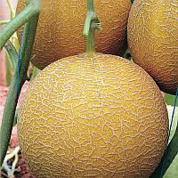 Гедіз F1 насіння дині типу Галія Yuksel 1 000 насінин