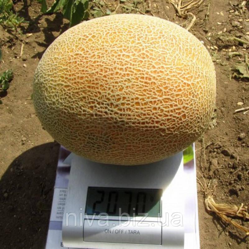 Кредо F1 насіння дині типу Ананас Tezier 1 000 насінин