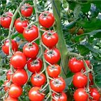 Арома  F1 семена томата черри Yuksel 100 семян