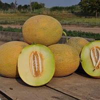 Радміла F1 насіння дині Yuksel 1 000 насінин