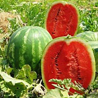 Топ Мара F1 насіння кавуна типу Крімсон Світ United Genetics 1 000 насінин