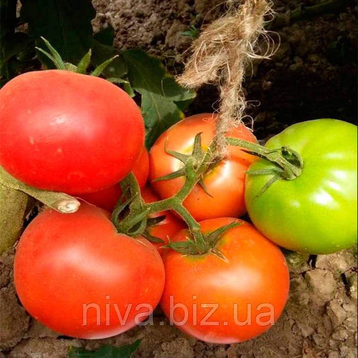 Пинк Клер F1 НТР-11 семена томата розового индет. Hazera 25 семян