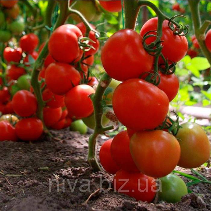 Тайлер F1 насіння томату індет Kitano Seeds 500 насінин