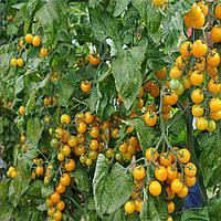 Голден стар F1 семена томата дет. желтого Erste Zaden 200 семян