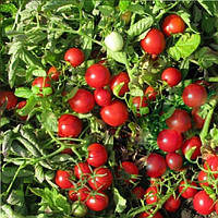 Руфус F1 семена томата дет. ESASEM 25 000 семян