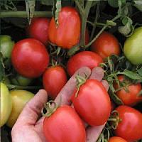 Эскорт семена томата Semo 300 г