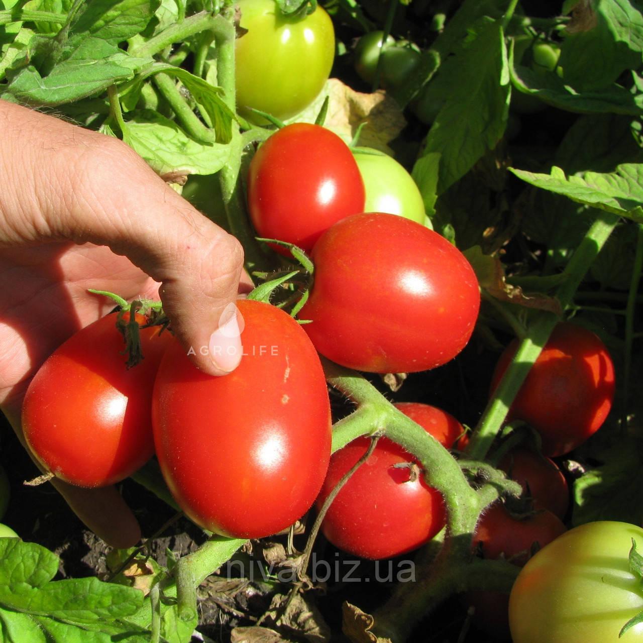Стелларед F1 семена томата Clause 5 000 семян
