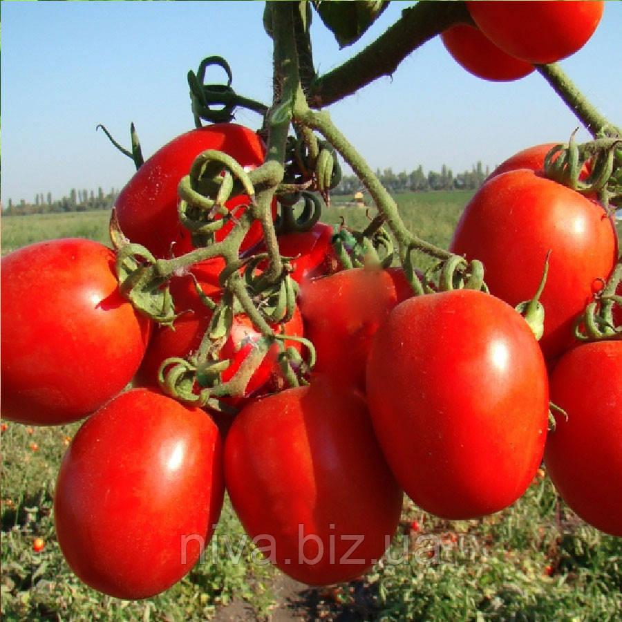 Тенорио F1 семена томата Clause 5 000 семян