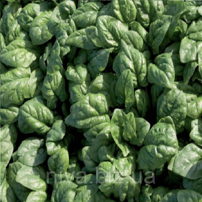 Спирос F1 (Spiros F1) семена шпината Bejo 50 000 семян